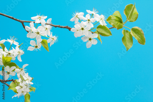 Flowering cherry branch with sky blue background