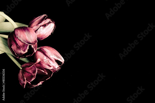 Spoed canvasdoek 2cm dik Tulp funeral background