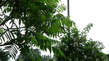 the ornamental garden tree large leaves dripping raindrops