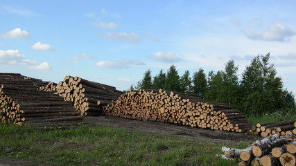 Wood felling industry. Stack birch and pine tree logs in autumn
