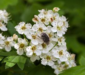 Flower chafer on blossom whitethorn