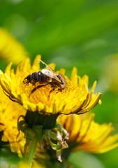 Honeybee on meadow