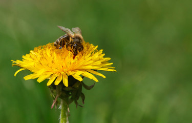 Feeding honeybee