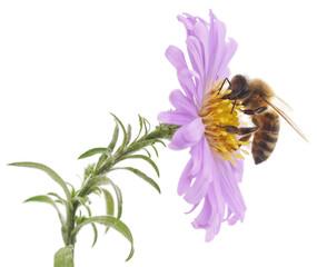 Honeybee and blue flower
