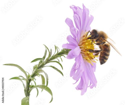 Zdjęcia na płótnie, fototapety, obrazy : Honeybee and blue flower