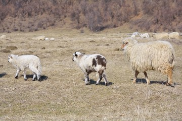 Lambs with sheep on field
