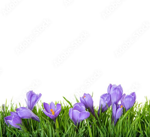 Fotobehang Krokus lila krokus freisteller