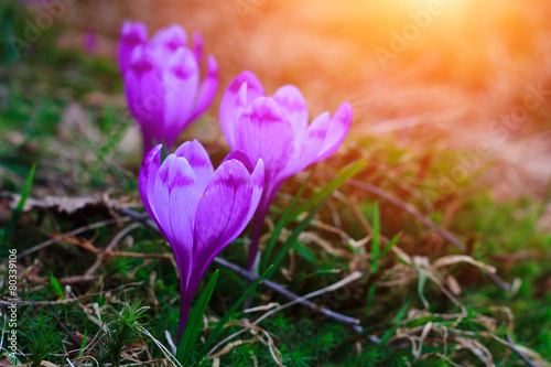 View of crocus flowers in light of the evening rays in close-up.