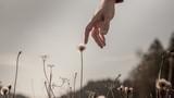 Man gently touching a delicate dandelion clock