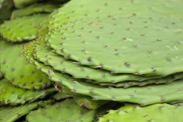 Nopales Cacti For Food