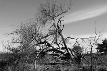 Dead tree in moorland