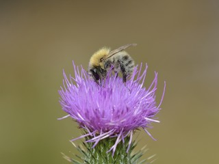 bumblebee on thistle flower