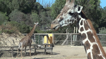 giraffe from the zoo with long tongue