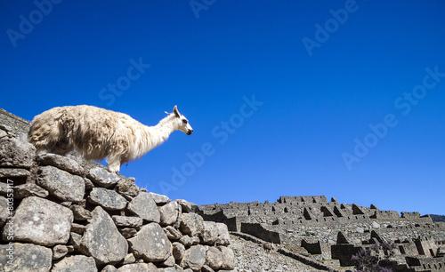 Foto op Plexiglas Lama llama standing in Macchu picchu ruins