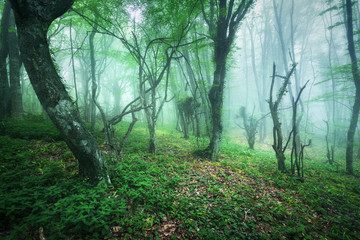 Trail through a mysterious beautiful forest in fog