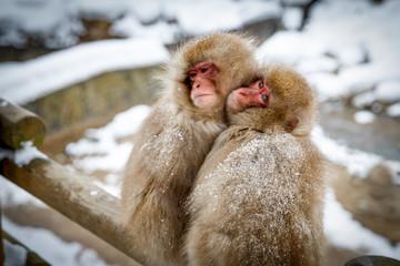 厳冬に耐え寄り添う猿