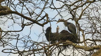 Heron Brings Sticks for a Nest