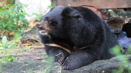 Black Bear Eating Leaves