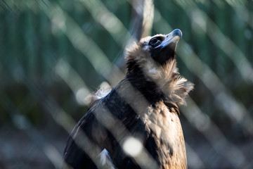 Wild vulture  in cage