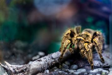 Yellow tarantula in terrarium