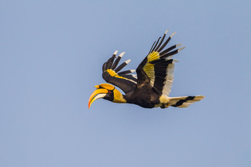 Great hornbill (Buceros bicornis) flying in the blue sky