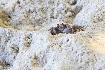 Madagascar Ghost crab on the beach of island Praslin.