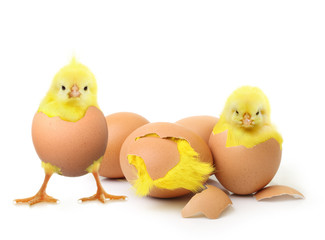 Cute little chicken and eggs