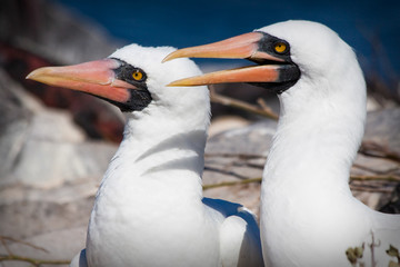 Closeup portrait of two masked boobies in the Galapagos Islands