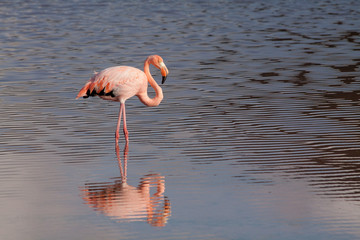 Closeup portrait of pink flamingo and its reflection in the