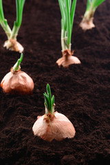 Germinated onion in soil close-up