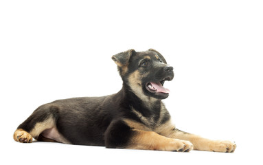 German Shepherd puppy on a white background isolated