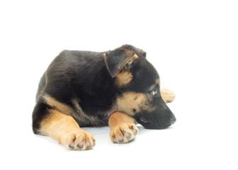 sad puppy shepherd dog on a white background