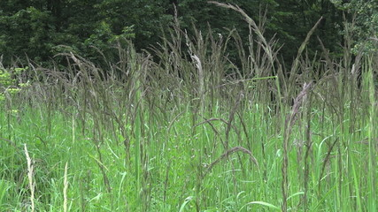 Field Meadow grass in the forest 002