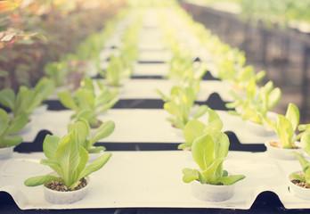lettuce at farm