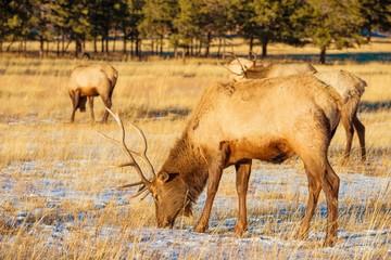 Elks Gang on the Meadow