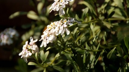 fiori bianchi in primo piano mossi dal vento