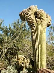 Crested (Cristate) Saguaro cactus