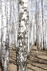 White birch tree in early spring