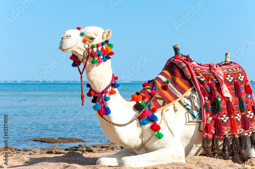 In de dag Kameel White proud camel resting on the Egyptian beach. Camelus dromeda