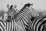 Fototapety Zebra herd in black and white photo with heads together