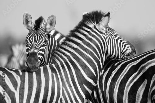 zebra-stada-w-czarno-bialej-fotografii-z-glowami-razem