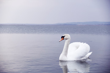 Swan on the lake