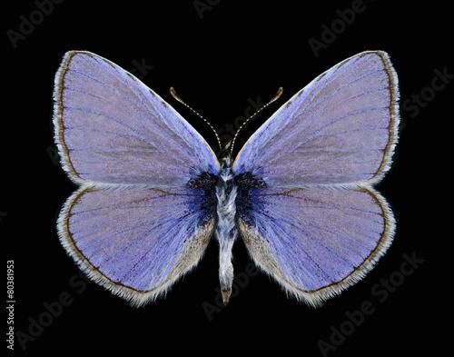 Staande foto Vlinder Butterfly Polyommatus icarus (male)