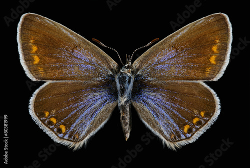 Foto op Canvas Vlinder Butterfly Polyommatus icarus (female)