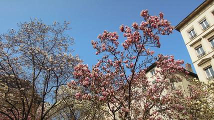 Magnolia en fleurs - Théatre des Célestin LYON 6