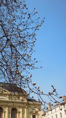 Magnolia en fleurs - Théatre des Célestin LYON 7