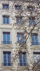 Magnolia en fleurs - Théatre des Célestin LYON 8