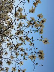 Magnolia en fleurs - Théatre des Célestin LYON 13