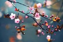 "Постер, картина, фотообои ""Spring flowering Japanese tree Sakura"""