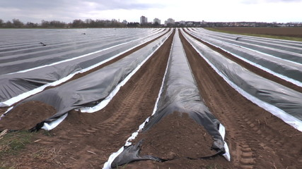 Foil on asparagus field rows in spring